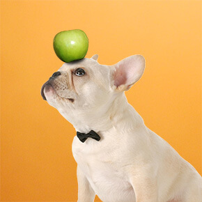 Appletini, french bulldog with apple